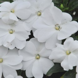 Бальзамин Новогвинейский Impatiens New Guinea Magnum Clear White