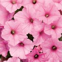 Supertunia® Vista Bubblegum