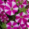 Petunia Supertunia Cassis Queen