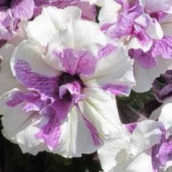 Petunia Origami Lavender Touch