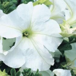 Petunia  Conchita Grande White