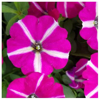 Petunia Supertunia Sangria Star