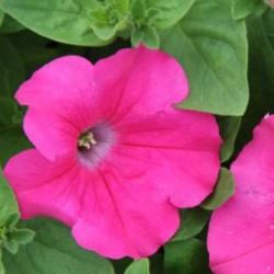 Petunia  Conchita Grande Pink