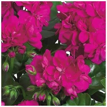 Пеларгония плющелистная Atlantic Violet