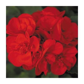 Пеларгония зональная Grandeur Power Bright Red