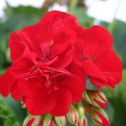 Пеларгония зональная Cumbanita Dark Red