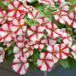 Petunia Pegasus Patio Cherry Star