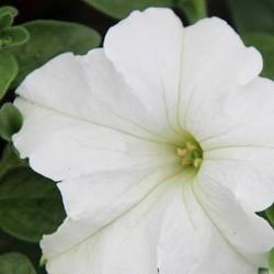 Petunia  Pegasus White