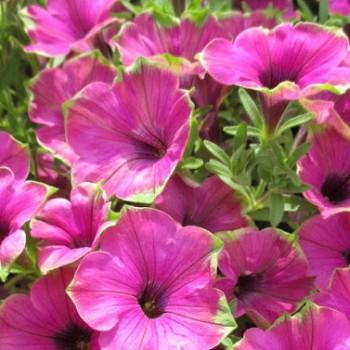 Petunia Cascadias Pitaya