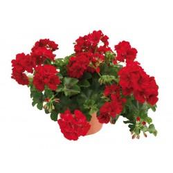 Пеларгония плющелистная Allegria Velver Red