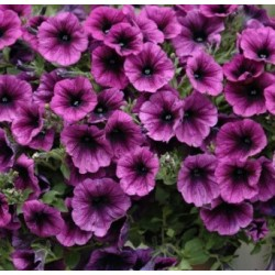 Supertunia® Merlot