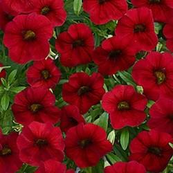Калибрахоа  Superbells® Unique Red