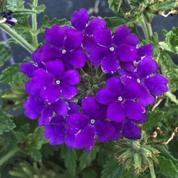 Verbena Empress Sun Violet