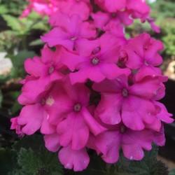 Verbena Vanessa Deep Pink