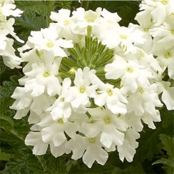 Verbena Empress Flair White
