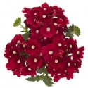 Verbena Empress Flair Dark Red Charme