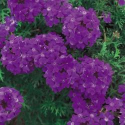 Verbena Tapien Violet