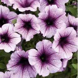 Supertunia® Bordeaux
