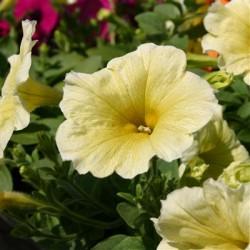 Petunia  Veranda Yellow
