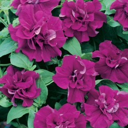 Surfinia Double Purple