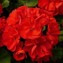 Пеларгония зональная Trend Dark Red