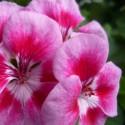 Пеларгония зональная PAC Flower Fairy® Rose