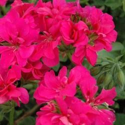 Пеларгония плющелистная Neon Pink