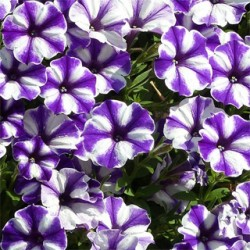 Petunia Supertunia Blueberry Star