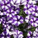 Petunia Supertunia Blueberry Star