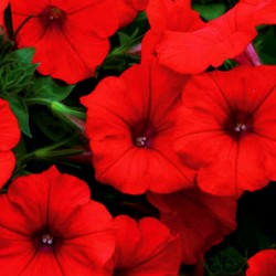Petunia Supertunia Chilli Red