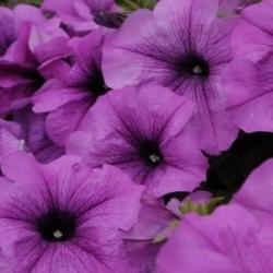 Petunia Conchita® Grande Lavender