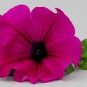 Surfinia Purple